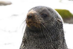 Closup of a young seal Stock Photography