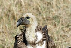 Closure look at African White-backed Vulture Royalty Free Stock Image