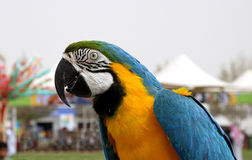Closure look at Blue and yellow Macaw Royalty Free Stock Image