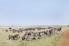 Closure look of the zebras grazing at Masai Mara National Park, Kenya Royalty Free Stock Photos