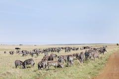 Closure look of the zebras grazing at Masai Mara National Park, Kenya Royalty Free Stock Photos