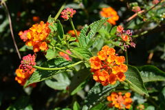 Cloth of gold, Hedge flower. Lantana, Weeping lantana, White sage Royalty Free Stock Images