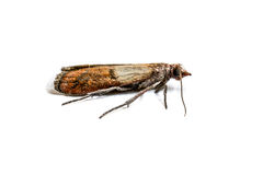 Cloth moth macro. Brown cloth moth isolated on white background macro photography stock image