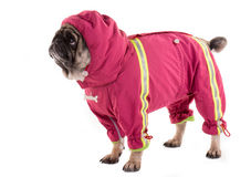 A clothed pug 2 Stock Photography
