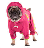 A clothed pug Stock Photography