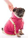 A clothed pug 3 Stock Images
