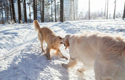 Clothes for dogs. two golden retriever dogs playing outdoors in winter. Stock Image