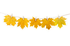 Clothespins on the rope holding autumn leaves on a white backgro Stock Photo