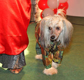 Clothing Chinese crested dog Royalty Free Stock Photo