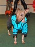 Clothing Chinese crested dog Royalty Free Stock Image