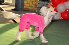 Clothing Chinese crested dog Stock Photography