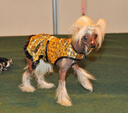 Clothing Chinese crested dog Royalty Free Stock Photos