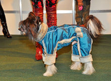 Clothing Chinese crested dog Stock Photo