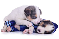 Clothing puppies mestizo resting Stock Photography