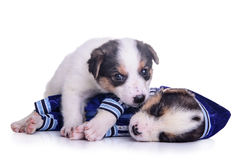 Clothing puppies mestizo resting Stock Photo