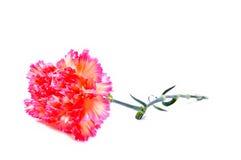 clou de girofle rose Photo libre de droits