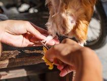 clou du ` s de cobaye de coupe Le cobaye domestique, également connu sous le nom de cavy domestique ou simplement cavy, est des e Photographie stock libre de droits