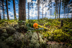 Cloud berry in Finnish forest. And cloudy summer sky in the background Royalty Free Stock Photo