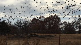 Cloud of blackbirds on a gray wintery day stock video footage