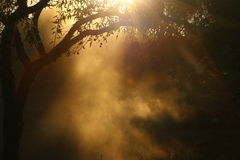 Cloud of dust under the olive tree Royalty Free Stock Photo
