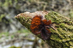 Cloud ear fungus Royalty Free Stock Image