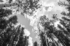 Cloud gaze. Surrounded by trees looking up at the clouds in a black and white image Royalty Free Stock Image