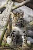 Cloud Leopard Royalty Free Stock Photography