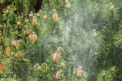 Free Cloud Of Pollen From A Pine Tree Royalty Free Stock Photography - 125943177
