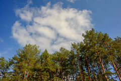 Cloud and pine Stock Photography