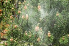 Cloud of pollen from a pine tree.  stock images