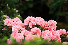 Rosy flower bush. Cloud of rosy flowers in greenery. Beautiful background for any design purposes Stock Photography