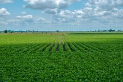 Cloud Shadow Passing Over Summer Soybean Field