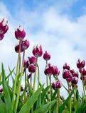 Cloud Tulips stock photo