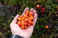 cloudberries φρέσκο χέρι Στοκ φωτογραφία με δικαίωμα ελεύθερης χρήσης