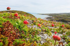 Cloudberries on the beach Royalty Free Stock Photo