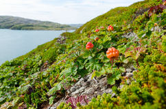 Cloudberries on the beach Royalty Free Stock Photos