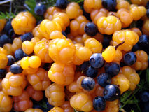 Ð¡loudberries and blueberries. Closeup of ripe yellow and blue wood berries royalty free stock images