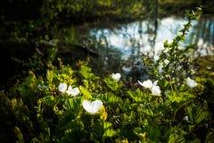 Cloudberries de florescência no norte Imagens de Stock Royalty Free