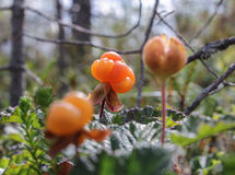 Cloudberries growing in the swamp. Berries, flowers and plants growing on the bog Royalty Free Stock Photography