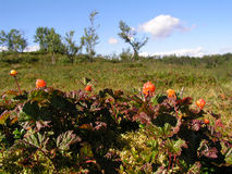 Cloudberries in mountain Royalty Free Stock Photography
