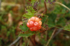 Cloudberries occur naturally throughout. royalty free stock image