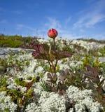 Cloudberries.Rubus chamaemorus。 免版税库存图片