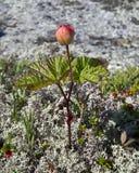 Cloudberries.Rubus-chamaemorus. Arkivbild