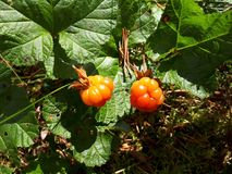 Rubus chamaemorus. Cloudberries on a bog. Cloudberries Rubus chamaemorus growing on a Finnish bog. The beautiful orange berries shine in the sunlight making them royalty free stock photos