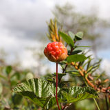 Cloudberries vermelhos Fotos de Stock