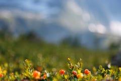 Cloudberry αυξάνεται στη δασική βόρεια Καρελία στοκ φωτογραφίες
