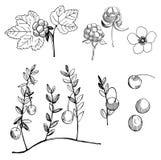 Cloudberry και το βακκίνιο Συρμένο χέρι δασικό μούρο Διανυσματικό σκίτσο στοκ εικόνες