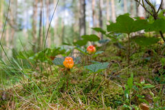 Cloudberry Foto de Stock