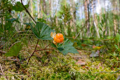 Cloudberry. A cloudberry in the forest Royalty Free Stock Images