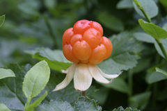 Cloudberry Royalty Free Stock Photo